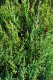 Υπόβαθρο των πράσινων κλάδων ιουνιπέρων Στοκ Εικόνες