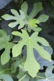 Υπόβαθρο των πράσινων φύλλων σύκων στοκ φωτογραφίες