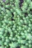 Υπόβαθρο των πράσινων succulents Στοκ Εικόνες