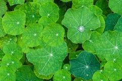 Υπόβαθρο των δροσοσκέπαστων φύλλων nasturtium των λουλουδιών Στοκ Εικόνες
