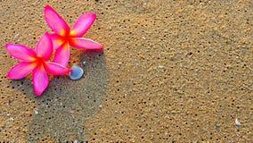 Υπόβαθρο των ρόδινων λουλουδιών Plumeria στην άμμο παραλιών Στοκ Εικόνα