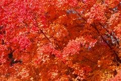 Υπόβαθρο των φύλλων σφενδάμου το φθινόπωρο στοκ εικόνες