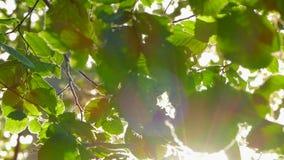 Υπόβαθρο των φύλλων δέντρων και των ακτίνων ήλιων απόθεμα βίντεο