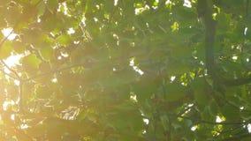 Υπόβαθρο των φύλλων του δέντρου και του φωτός του ήλιου απόθεμα βίντεο