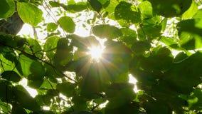 Υπόβαθρο των φύλλων φουντουκιών στις ακτίνες ήλιων αέρα φιλμ μικρού μήκους