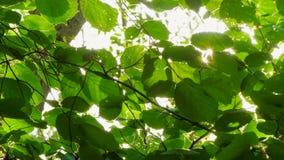 Υπόβαθρο των φύλλων φουντουκιών στον αέρα απόθεμα βίντεο