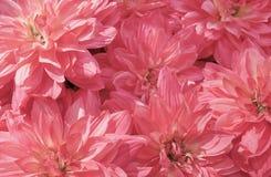 Υπόβαθρο των όμορφων ρόδινων τεχνητών λουλουδιών αστέρων Στοκ Εικόνες