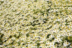 Υπόβαθρο των chamomiles Στοκ φωτογραφία με δικαίωμα ελεύθερης χρήσης