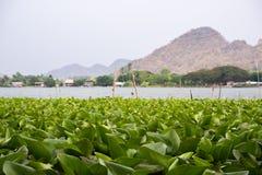 Υπόβαθρο υάκινθων νερού στη λίμνη στοκ εικόνες