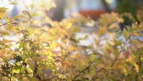 Υπόβαθρο φθινοπώρου με τα κίτρινα φύλλα και το λουλούδι ελαφρύς ηλιόλουστος Το σκηνικό περιστρέφεται φιλμ μικρού μήκους