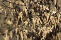 Υπόβαθρο φθινοπώρου, πολλά ξηρά φύλλα που κρεμά στο δέντρο Στοκ Εικόνες