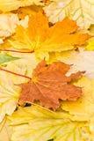 Υπόβαθρο φθινοπώρου των καφετιών και κίτρινων φύλλων σφενδάμου, κινηματογράφηση σε πρώτο πλάνο Στοκ Φωτογραφίες