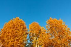 Υπόβαθρο φθινοπώρου - yellow-orange κορώνες των δέντρων σε ένα κλίμα του καθαρού μπλε ουρανού στοκ φωτογραφία