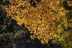 Υπόβαθρο - φθινόπωρο στα δύσκολα βουνά - κινηματογράφηση σε πρώτο πλάνο των κίτρινων φύλλων της Aspen στοκ εικόνες