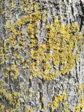 Υπόβαθρο φλοιών, φλοιός σύστασης, ξύλινος φλοιός δέντρων στοκ φωτογραφίες