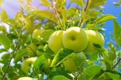Υπόβαθρο φρούτων της Apple Στοκ φωτογραφία με δικαίωμα ελεύθερης χρήσης