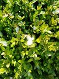 Υπόβαθρο φύλλων πυξαριού με τον πάγο Φρέσκα πράσινα φύλλα πυξαριού το χειμώνα στοκ φωτογραφία με δικαίωμα ελεύθερης χρήσης