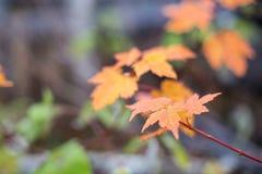 Υπόβαθρο φύλλων σφενδάμου φθινοπώρου στις σκιές του πορτοκαλιού και κίτρινος Φωτεινό υπόβαθρο πτώσης με τη μαλακή εστίαση Στοκ φωτογραφία με δικαίωμα ελεύθερης χρήσης