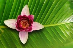 Υπόβαθρο φύλλων Lotus και λωτός λουλουδιών Στοκ Φωτογραφίες