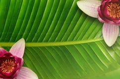 Υπόβαθρο φύλλων Lotus και λωτός λουλουδιών Στοκ φωτογραφία με δικαίωμα ελεύθερης χρήσης