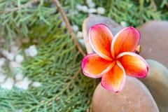 Υπόβαθρο φύσης γλυκού καλού ενιαίου plumeria ή frangipani Στοκ Εικόνες