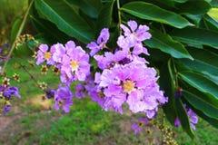 υπόβαθρο φύσης εγκαταστάσεων λουλουδιών δέντρων speciosa lagerstroemia Στοκ εικόνες με δικαίωμα ελεύθερης χρήσης