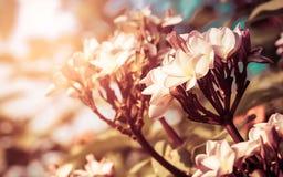 Υπόβαθρο φύσης, λουλούδι Plumeria στο δέντρο plumeria, Frangip Στοκ Εικόνες