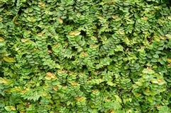 Υπόβαθρο φύσης των πράσινων φύλλων Στοκ φωτογραφία με δικαίωμα ελεύθερης χρήσης