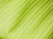 Υπόβαθρο φύλλων μπανανών με τη σταγόνα βροχής Στοκ Φωτογραφία