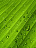 Υπόβαθρο φύλλων μπανανών με τη σταγόνα βροχής Στοκ Εικόνες