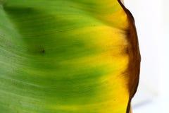 Υπόβαθρο φύλλων μπανανών Στοκ εικόνες με δικαίωμα ελεύθερης χρήσης