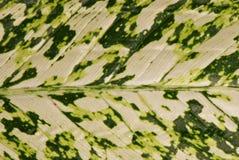 Υπόβαθρο φύλλων Dieffenbachia Στοκ φωτογραφία με δικαίωμα ελεύθερης χρήσης