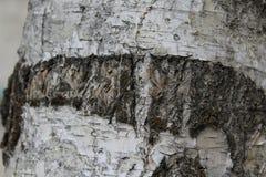 Υπόβαθρο φλοιών σημύδων Στοκ φωτογραφία με δικαίωμα ελεύθερης χρήσης