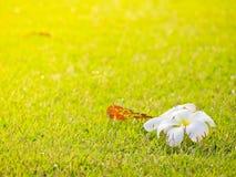 Υπόβαθρο χλόης και σύσταση και άσπρο λουλούδι Plumeria Στοκ φωτογραφία με δικαίωμα ελεύθερης χρήσης