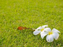 Υπόβαθρο χλόης και σύσταση και άσπρο λουλούδι Plumeria Στοκ φωτογραφίες με δικαίωμα ελεύθερης χρήσης