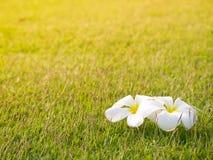 Υπόβαθρο χλόης και σύσταση και άσπρο λουλούδι Plumeria Στοκ Εικόνα