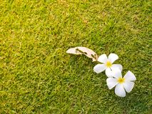 Υπόβαθρο χλόης και σύσταση και άσπρο λουλούδι Plumeria Στοκ εικόνα με δικαίωμα ελεύθερης χρήσης