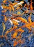 Υπόβαθρο ψαριών Koi Στοκ Φωτογραφία