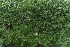 Υπόβαθρο Buxus sempervirens στοκ φωτογραφίες