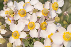 Υπόβαθρο hupehensis Anemone Στοκ Φωτογραφίες