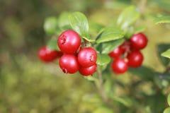 Υπόβαθρο Llingonberry Στοκ Εικόνες