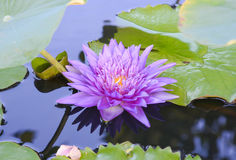 Υπόβαθρο Lotus Στοκ φωτογραφία με δικαίωμα ελεύθερης χρήσης
