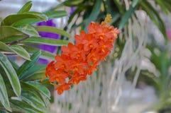 Υπόβαθρο Ochid, Ascocentrum Miniatum στοκ εικόνες