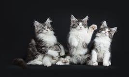 Υπόλοιπος κόσμος τεσσάρων μαύρου τιγρέ παιχνιδιού με τις άσπρες γάτες του Μαίην Coons Στοκ Φωτογραφίες