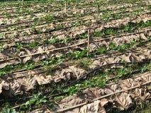 Υπόλοιπος κόσμος της φυτείας φραουλών που καλύπτεται με το μεγάλο ξηρό φύλλο για το χώμα Στοκ Φωτογραφία