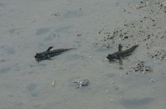 Υπόλοιπο δύο mudskippers στη λάσπη στοκ φωτογραφία