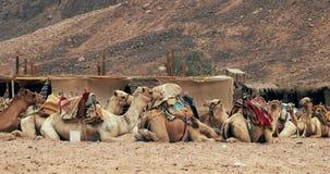 Υπόλοιπο τροχόσπιτων καμηλών στην άμμο ερήμων Καμήλες στη στήριξη απόθεμα βίντεο