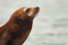 Υπόδειξη λιονταριών θάλασσας Καλιφόρνιας Στοκ φωτογραφία με δικαίωμα ελεύθερης χρήσης