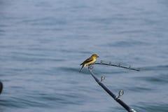 Υπόλοιπα πουλιών σε μια ράβδο αλιείας Στοκ Φωτογραφίες
