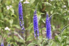 Υπόλοιπος κόσμος μπλε lavender Στοκ φωτογραφία με δικαίωμα ελεύθερης χρήσης